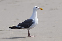 Western Gull (Lynn Tweedie) Tags: tail fortbraggca canon ocean beak feathers sea pacificocean sigma150600mmf563dgoshsm bird westerngull california eos 7dmarkii ngc animal