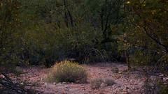 (MeaghaHertz) Tags: saguaronationalpark arizona a550 sonoran desert creosote flowers sony
