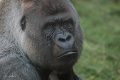Gorilla BOKITO (K.Verhulst) Tags: bokito gorilla ape mensaap blijdorp blijdorpzoo diergaardeblijdorp rotterdam monkeys apen