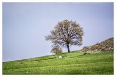 The tree [1418] (my.travels) Tags: trees tree nature fields field countryside landscape scenery samsung nx2000 eskişehir turkey tr