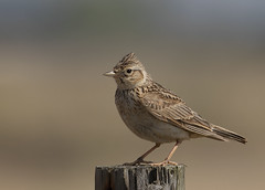 Skylark (alauda arvensis) (Steve Ashton Wildlife Images) Tags: alauda arvensis alaudaarvensis skylark lark sky