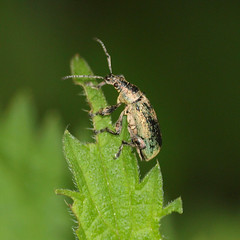 2018_06_0285sq (petermit2) Tags: greenweevil weevil pottericcarr potteric doncaster southyorkshire yorkshire yorkshirewildlifetrust wildlifetrust ywt
