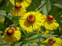Flowers (LuckyMeyer) Tags: flower fleur bee insect makro yelllow green blume blüte sun light garden summer
