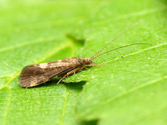 Caddisfly (treegrow) Tags: rockcreekpark washingtondc nature lifeonearth raynoxdcr250 arthropoda insect trichoptera
