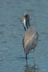 Tri-colored Heron with an itch (Earl Reinink) Tags: bird animal nature marshbird wadingbird water beak feathers earl reinink earlreinink uohuouodza heron atricoloredheron tricoloredheron