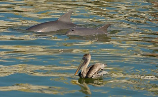 Dolphins and brown Pelican