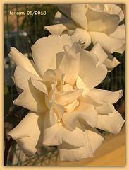 Teba 03 rosas (ferlomu) Tags: ferlomu flor flower málaga rosa teba