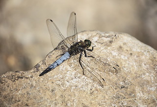 Black tailed skimmer Dragonfly