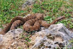 Vipera _011 Aspis (Rolando CRINITI) Tags: vipera viperaaspis aspisfranisciredi rettili montebaldo natura
