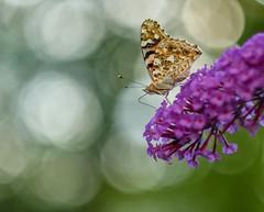 Bokeh full butterfly. (agnieszka.a.morawska) Tags: flower budleja garden summer nature macro dof bokeh bkhq beyondbokeh bokehlicious motyl butterfly