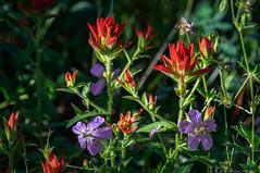 Floral art (Bill Bowman) Tags: montaneforest richardsonsgeranium geraniumrichardsonnii indianpaintbrush castillejaintegra grassytop colorado