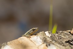 PVA_0042W Podarcis vaucheri. Grazalema spain (Priscilla (still more then 3yrs of photos to go th) Tags: podarcisvaucheri grazalemaspain podarcis lacertidae lizardsofspain reptilesofeurope herpingspain herpingeurope