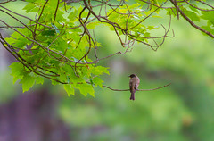 Waiting For Flies (John Kocijanski) Tags: bird bokeh wildlife animal nature tree easternphoebe canon400mmf56 canon7d