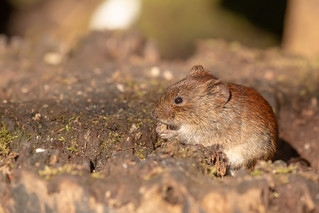 Common Vole nibbling seeds