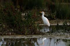 Héron garde-boeuf (Bubulcus ibis) (Philippe Renauld) Tags: héron gardeboeufs bubulcus ibis western cattle egret domainedesoiseaux mazères occitanie france fr