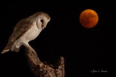 Barbagianni di Sardegna in eclissi (Edoardo Simula) Tags: eclipse moon barnowl sardinia sardegna luna notte night barbagianni moonlight eclisse 2018 barbagiannidisardegna barvagiannisardo