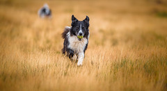 Staying Ahead of the Game (JJFET) Tags: border collie dog dogs sheepdog herding
