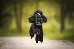 (Cristina Laugero) Tags: barboncino black run poodle dog chien perro road