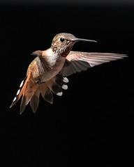 Hovering Hummingbird (Mark Schocken) Tags: selasphorusrufus hummingbird sedona markschocken