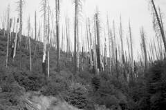 2018-116 (biosfear) Tags: 35mm pioneer dead trees