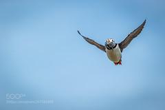 The Homecoming (KevinBJensen) Tags: bird flight flying avian puffin ornithology fratercula fishing farne islands northumberland tilden ian