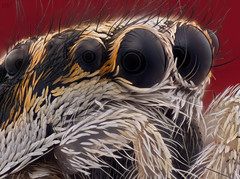Jumping spider (robert.vierthaler) Tags: olympus omd em1 lomo microscope macrophotography macro spider insects nature focus stacking helicon