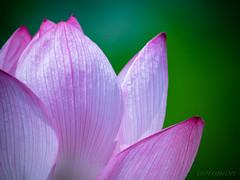 P1030041 (无敌凹凸曼) Tags: borg 71fl gx8 lotus