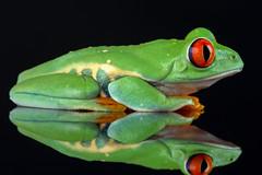 Red-Eyed Tree Frog, CaptiveLight, Ringwood, Hampshire, UK