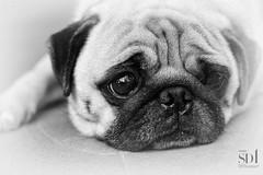 _SDI0217 - My dog (PhotoAnalog) Tags: sigma sd1 70mm f28 dg macro art full size dog pug cute