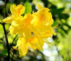 Let your Soul and Spirit fly (barbara_donders) Tags: natuur nature summer zomer yellow geel flowers bloemen sunshine zonneschijn bokeh macro beautiful magical mooi prachtig