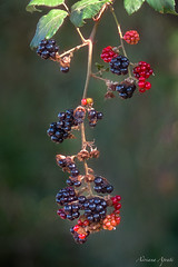 i semplici doni dell'estate... the simple gifts of summer... (adrianaaprati) Tags: lackberries fruits fruitsofthebramble bramble summer august park