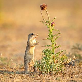 European ground squirrel / Siesel