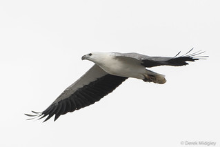 White-bellied Sea-Eagle : Effortless