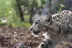 Leopard Stalks the Wilds of Toronto (Rick 2025) Tags: toronto torontozoo mapleleaftours 2018 animals cats bigcats leopards snowleopards