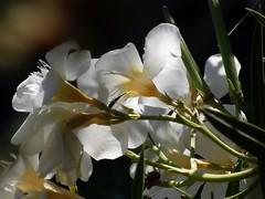 oleandro sotto casa (fotomie2009) Tags: flower fiore flora nerium oleander oleandro white controluce backlight contrejour