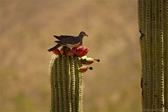 White-Winged Dove feeding on blossoms (CHWVB) Tags: smileonsaturday uniflona saguaro wüste tucson kaktus sonora desert arizona usa weisflügeltaube taube dove white winged blüte cactus summer 7dwf