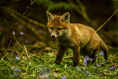 Fox cub in late spring bluebells (andy_harris62) Tags: foxcub spring bluebells nikon mammal animal juvenile cute secret