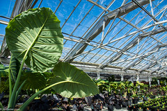 Big Leaves in the Greenhouse (Jim Frazier) Tags: publicgarden 2018 2018cantigny2018 bloom blooming blossoming blossoms botanic botanicgarden botanicalgarden botanicalgardens building burgeoning burgeons cantigny cantignypark conservatory dupage dupagecounty flora floral flourishing flowering flowers gardening gardens glasshouse glasshouses greenhouse growing horticulture il illinois jimfraziercom march museum nature nurseriesgreenhouses nursery park parks plants preserve spring structure wheaton winter q4 jfpblog