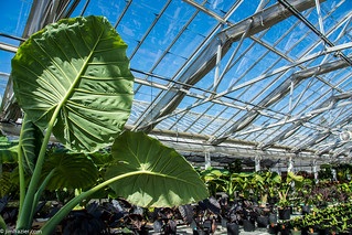 Big Leaves in the Greenhouse