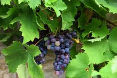 Le temps des vendanges approche (Croc'odile67) Tags: nikon d3300 sigma contemporary 18200dcoshsmc raisins vigne nature