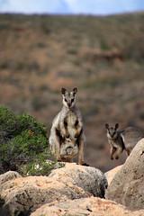 Black-footed rock wallabies (Paul Threlfall) Tags: blackfootedrockwallaby petrogalelateralis wa westernaustralia northwestcape caperangenationalpark mandumandugorge macropods animalplanet