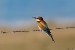 European Bee-eater (Corine Bliek) Tags: meropsapiaster lesbos lesvos bird birds vogel vogels nature natuur wildlife colourfull kleurrijk colors exotic exotisch sky lines