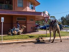 Camels at Australian Hotel Burke St Boulia Queensland P1030413ac (john.robert_mcpherson) Tags: camels australian hotel burke st boulia queensland