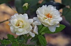Rosas (jagar41_ Juan Antonio) Tags: flores flor flora rosas rosa rosablanca