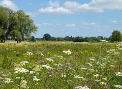 On our walk to Loevestein Castle (joeke pieters) Tags: 1410314 panasonicdmcfz150 vestingdriehoek loevestein gelderland nederland netherlands holland bloemen wildflower landschap landscape landschaft paysage