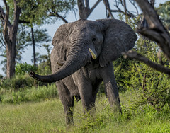 ELEPHANTS: Happy Camper… (John C. Bruckman @ Innereye Photography) Tags: botswana elephants southernafrica migration water homelands elephantswithoutborders pachyderms sanctuary okavango delta eatinghabits elephantfamilies femaleelephants cows calves calf matriarchalhead babysit elephantdevelopment survivalrate lifelongfriendships stillborncalves maleelephant bull puberty mournthedeath grieving nomadicandsolitarylife