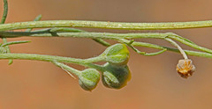 CAE016430a (jerryoldenettel) Tags: 180717 2018 asteraceae asterales asterids belen fineleafwoollywhite hymenopappus hymenopappusfilifolius nm valenciaco wildflower woollywhite flower