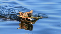 Dogged Determination..... (BIKEPILOT, Thx for + 4,000,000 views) Tags: dog animal canine swimming water lake wet fun cooling stick horseshoelake summer sandhurst berkshire uk england britain countryside
