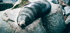 Sleeping Seal (danny.lam) Tags: animals australia creature dannylam nsw natural nature naturephotography newsouthwales oceania outback outdoor seal travel water wildlfie globalplanan holiday landscapephotography rest rocks scenicphotography sleep stockphoto wildanimals