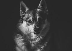 Little Lady (West Leigh) Tags: dog canine blackandwhite animal love discover beauty canon zoe pup puppy companion compassion sweet beautiful monochrome husky kleekai mini